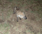 "Baby Hyena Saying ""Helloooo"""