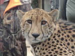 "Bullet. . . a ""pettable"" cheetah"