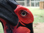 Grounded Hornbill.